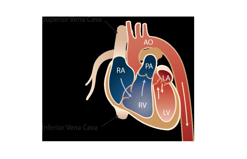 cardio areterial illustrations