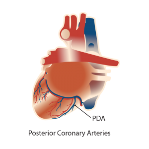 cardio arterial illustration, heart, anatomical, medical, drawings