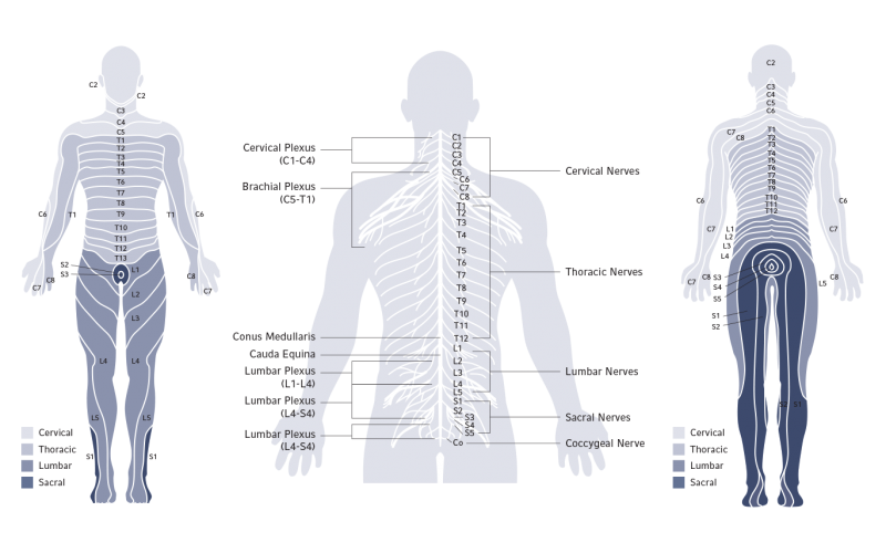 derma zone,nerves,cervical,thoracic,lumbar,sacral, spinal cord